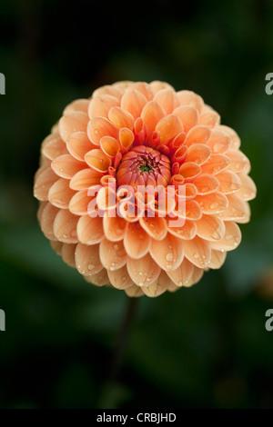 Ball Dahlie Blüte Nahaufnahme - Stockfoto