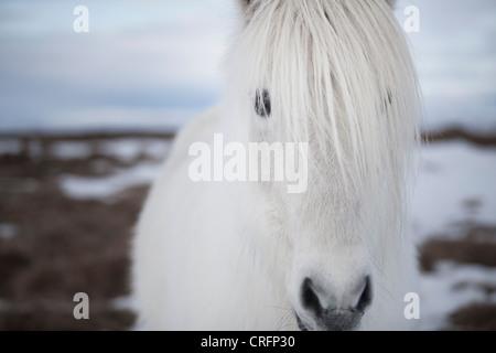 Nahaufnahme von weißen Pferden Gesicht - Stockfoto