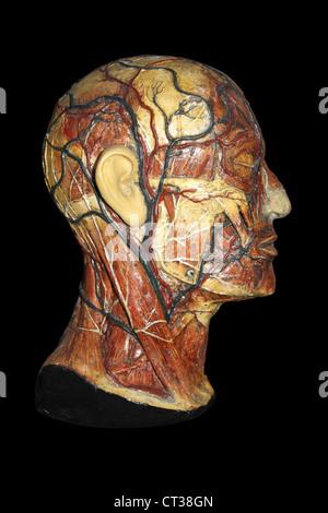 Anatomisches Modell des menschlichen Kopfes mit Arterien und Venen ...