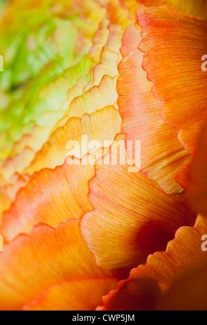 Ranunculus Blütenstand, extreme Nahaufnahme - Stockfoto