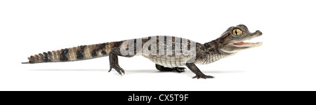 Brillentragende Brillenkaiman, Caiman Crocodilus, auch bekannt als die weiße Kaiman oder gemeinsame Caiman, 2 Monate - Stockfoto