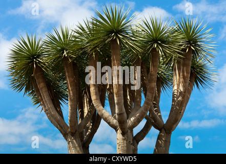 Kanarischen Drachenbaum oder Drago (Dracaena Draco), Krone, Teneriffa, Kanarische Inseln, Spanien, Europa - Stockfoto