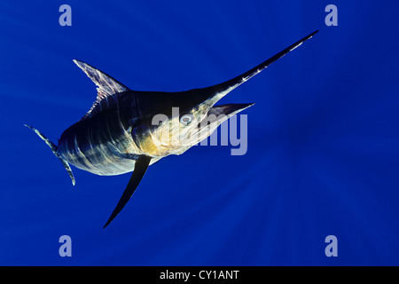 Blauer Marlin, Makaira Nigricans, Big Island, Hawaii, USA - Stockfoto