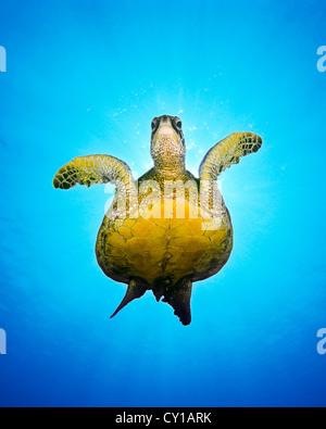 Green Sea Turtle, Chelonia Mydas, Big Island, Hawaii, USA - Stockfoto