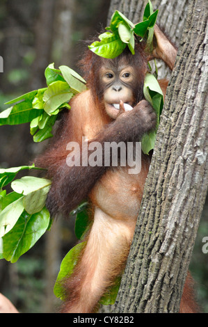Junger Orang-Utan Orang-Utan Pongo Pygmaeus in Sepilok Rehabilitation Centre Borneo Malaysia - Stockfoto