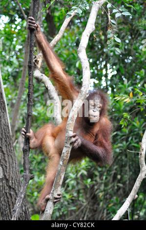 Junger Orang-Utan Orang-Utan Pongo Pygmaeus in Sepilok Rehabilitation Centre Borneo Malaysia Kletterbaum - Stockfoto