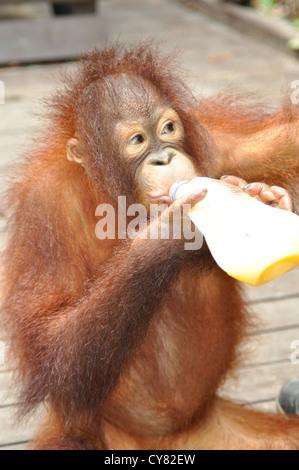 Junger Orang-Utan Orang-Utan Pongo Pygmaeus in Sepilok Rehabilitation Centre Borneo Malaysia Flaschenernährung - Stockfoto