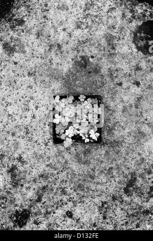 Draufsicht der Kleeblätter auf Zement - Stockfoto