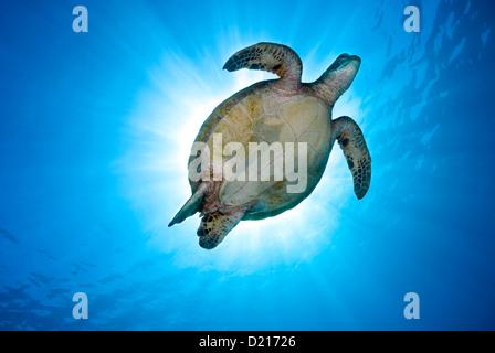 Green Sea Turtle Chelonia Mydas schwimmen über ein Korallenriff, Coral Sea, Great Barrier Reef, Pazifik, Queensland - Stockfoto