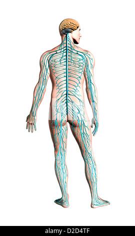 Menschlichen Nervensystem Computer Grafik - Stockfoto