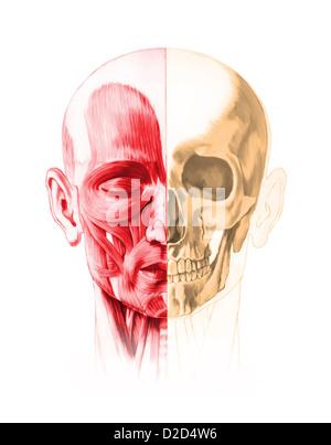 Menschlicher Schädel-Struktur Stockfoto, Bild: 52538950 - Alamy