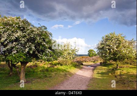 Herz von England Weg Fußweg kann auf Weißdorn Bäumen Cannock Chase Country Park AONB (Gebiet von außergewöhnlicher - Stockfoto