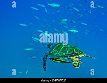 Eine schwarze Meeresschildkröte mit Remora schwimmen durch eine Schule des Fisches, Fidschi-Inseln. - Stockfoto