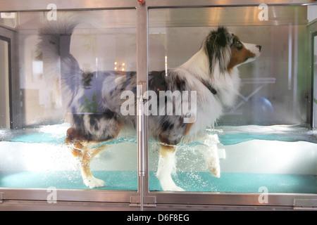 Wees, Deutschland, ein Australian Shepherd Hund bei der Wassergymnastik in der Physiotherapie-Praxis tierisch fit - Stockfoto