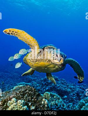 Green Sea Turtle, Chelonia Mydas, Kona Coast, Big Island, Hawaii, USA - Stockfoto