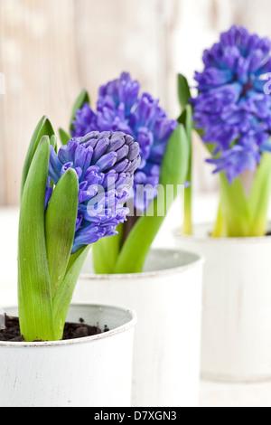 Porträtaufnahme von blau und lila Hyazinthe Blumen in weißen Töpfen abgenutzte Holz im Hintergrund. - Stockfoto