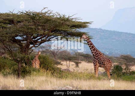 Masai-Giraffe (Giraffa Plancius), Samburu National Reserve, Kenia, Ostafrika, Afrika - Stockfoto