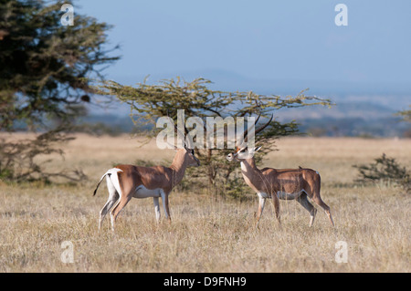 Grants Gazelle (Gazella Granti), Samburu National Reserve, Kenia, Ostafrika, Afrika - Stockfoto