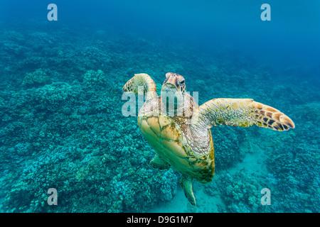 Grüne Meeresschildkröte (Chelonia Mydas) unter Wasser, Maui, Hawaii, Vereinigte Staaten von Amerika - Stockfoto