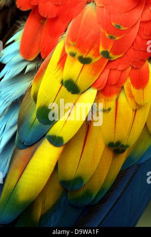 Papagei Federn / Gefieder hautnah - Stockfoto