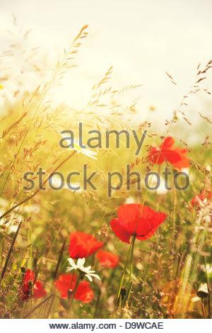 Sommer-Mohn - Stockfoto