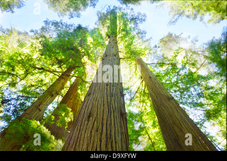 Sonniger Tag in Redwood Grove, Nord-Kalifornien. - Stockfoto