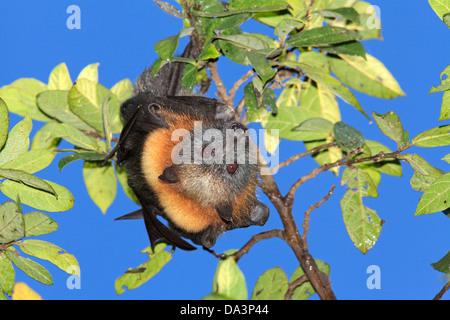 Graue Spitze Flying Fox, Pteropus Poliocephalus. Endemisch in östlichen Australien und sind anfällig auf der IUCN - Stockfoto