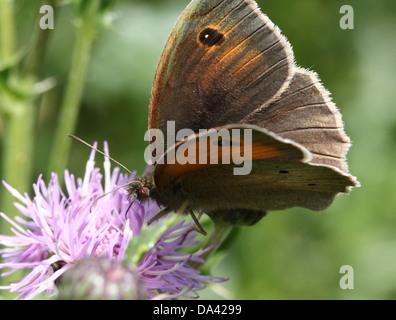 Nahaufnahme eines männlichen Schmetterlings Wiese Braun (Maniola Jurtina) - Stockfoto
