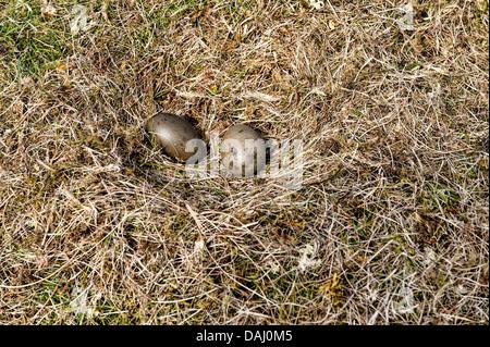 Nest des arktischen Skua in der Insel-Skuvoy - Stockfoto