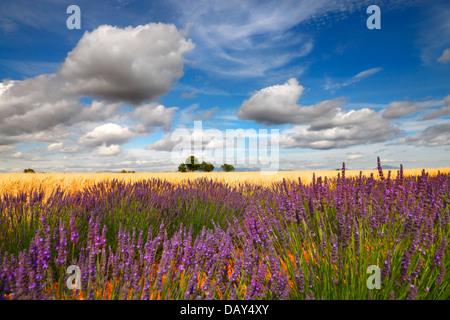 Lavendel-Feld mit schönen Wolken, Provence Frankreich. - Stockfoto