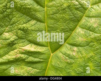 Nahaufnahme des grünen Riesen Rhabarber (Gunnera Manicata) Pflanzenblattes zeigt Y förmige Vene. - Stockfoto
