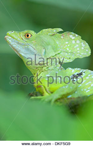Nahaufnahme von Basilisk Eidechse (Basiliskos Plumifrons), Costa Rica - Stockfoto