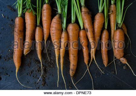 Handvoll frische Karotten nur holte vom Garten mit Erde auf dunklem Hintergrund - Stockfoto
