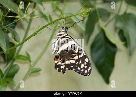 Papilio Demoleus, Lime butterfly - Stockfoto