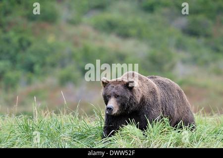 Grizzly Bär (Ursus Arctos Horribilis) Wandern in hohen Gräsern. - Stockfoto