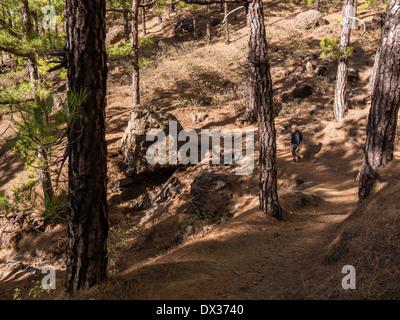 Ein weiblicher Touristen Wanderungen im Wald des Nationalparks Caldera de Taburiente. - Stockfoto