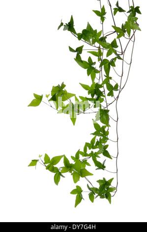 Einige dichten Efeu (Hedera) Stämme isoliert auf weißem Hintergrund. Kletterpflanze Efeu Stamm mit jungen grünen - Stockfoto