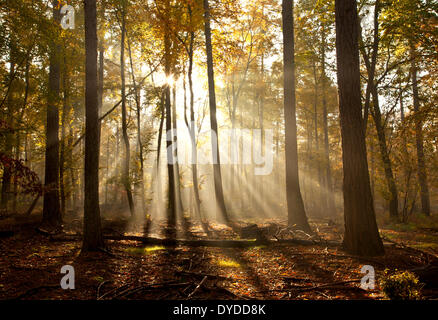 Sonnenaufgang in Rishbeth Woods in Thetford Forest. - Stockfoto