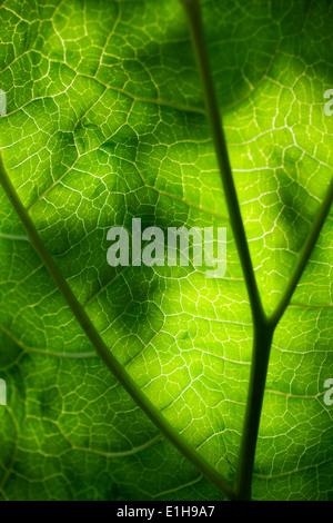 Nahaufnahme der grüne Rhabarber Blatt gegen Sonne - Stockfoto