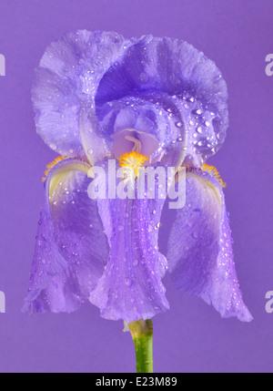 gelbe iris blume isoliert auf schwarz stockfoto bild. Black Bedroom Furniture Sets. Home Design Ideas