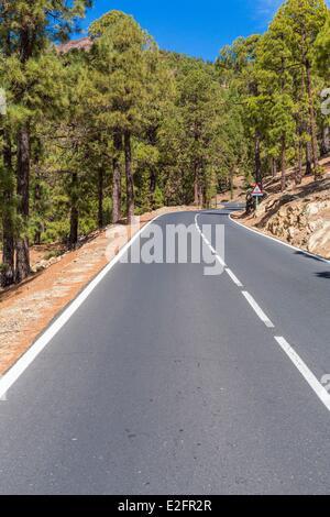 Spanien-Kanarische Inseln-Teneriffa-Zufahrtsstraße zum Vilaflor Kanarischen Kiefernwald (Pinus Canariensis) - Stockfoto