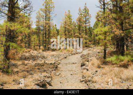 Wald der Kanarischen Kiefer brannte teilweise in der Nähe von Vilaflor, Teneriffa, Kanarische Inseln. - Stockfoto