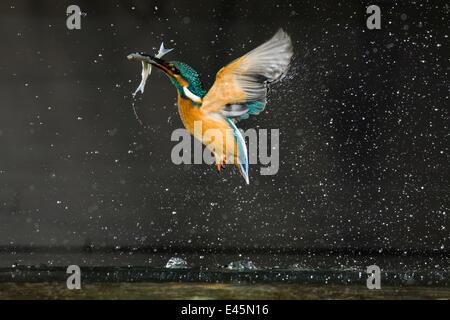 Eisvogel (Alcedo Atthis) während des Fluges mit Fisch, Balatonfuzfo, Ungarn, Januar 2009.WWE OUTDOOR Ausstellung. - Stockfoto