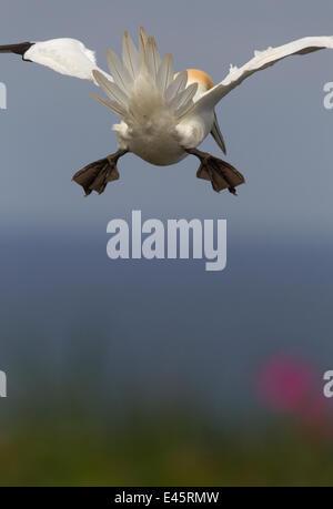 Basstölpel (Sula Bassana) Rückansicht, fliegen in Gegenwind, Tail als Pause, Küste von Yorkshire, England. VEREINIGTES - Stockfoto