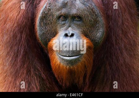 """Bornean Orang-Utans (Pongo Pygmaeus Wurmbii) jungen Reifen männlichen """"Gary"""" im Alter von 16 Jahren Porträt. Camp - Stockfoto"""