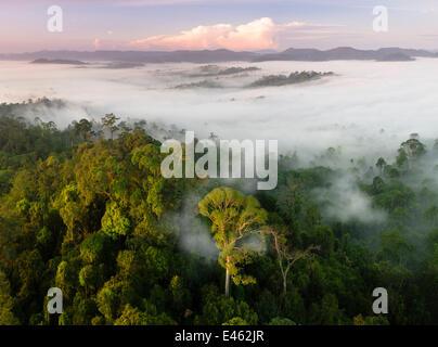 Nebel und niedrige Wolken hängen über Tiefland-Regenwald, kurz nach Sonnenaufgang, mit Menggaris Baum (Koompassia - Stockfoto