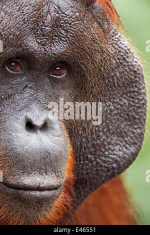 """Bornean Orang-Utans (Pongo Pygmaeus Wurmbii) Reifen männlichen """"Doyok"""" Porträt. Pondok Tanggui, Tanjung Puting Nationalpark, - Stockfoto"""