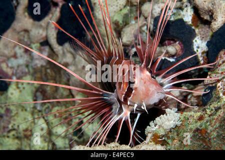 Clearfin Rotfeuerfisch (Pterois Radiata) auf Korallen, Rotes Meer, Ägypten - Stockfoto