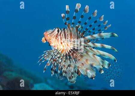 Rot Rotfeuerfisch (Pterois Volitans), Makadi Bay, Rotes Meer, Hurghada, Ägypten - Stockfoto