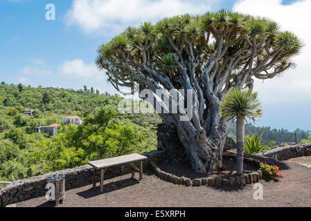 Kanarischen Drachenbaum (Dracaena Draco), La Palma, Kanarische Inseln, Spanien - Stockfoto